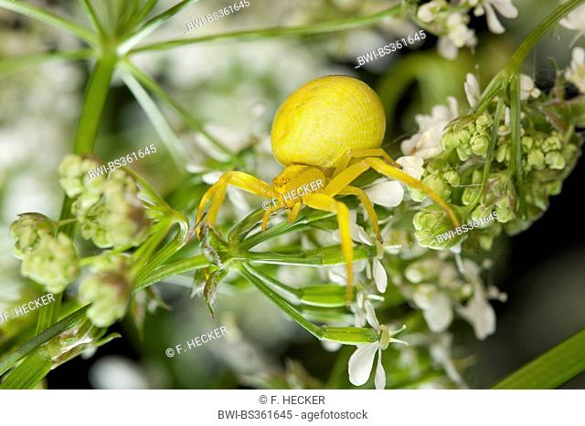 goldenrod crab spider (Misumena vatia), female, Germany