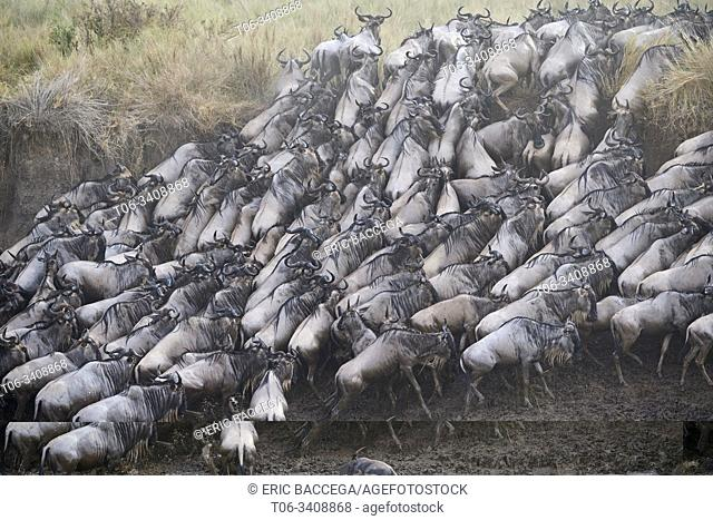 Eastern White-bearded Wildebeest herd {Connochaetes taurinus} climbing bank after crossing river. Masai Mara National Reserve, Kenya