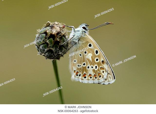 Chalkhill Blue (Polyommatus coridon) resting on knapweed, England, Cambridgeshire, Devil's Dyke