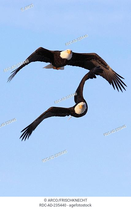 Bald Eagles, Alaska, USA, Haliaeetus leucocephalus