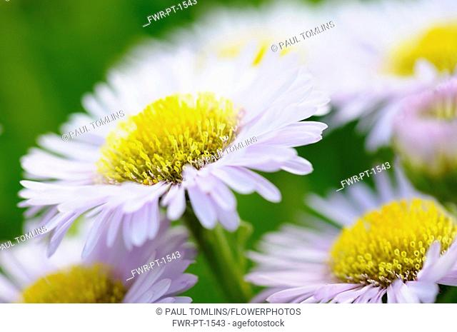 Fleabane, Pale Purple Beach Aster, Erigeron glaucus 'Western hills'. Mauve flowers with yellow stamen growing outdoor