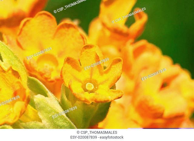Yellow cowslip macro