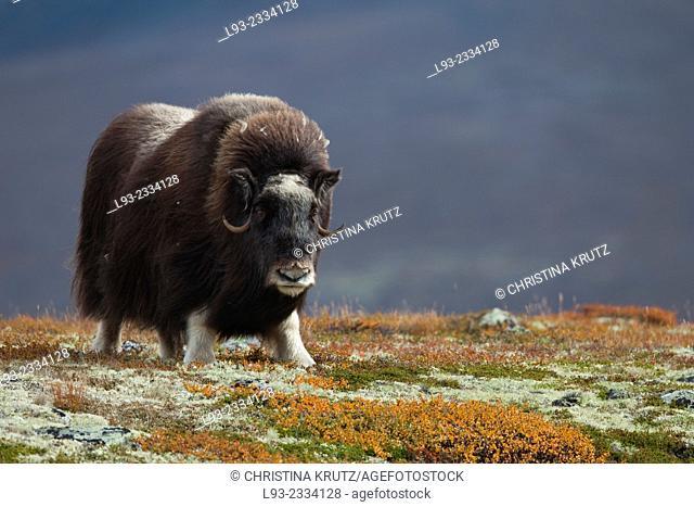 Muskox, Dovrefjell Sunndalsfjella National Park, Norway, Scandinavia, Europe