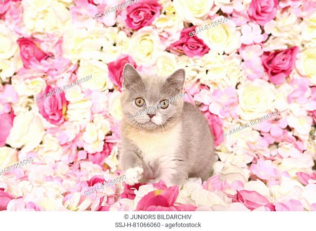 British Shorthair Cat. Kitten walking among rose flowers. Studio picture. Germany