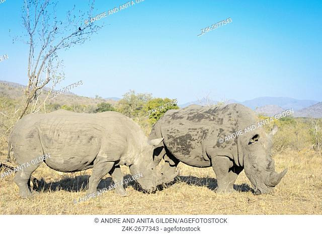 White rhino (Ceratotherium simum) pair in the southern part of the Kruger National Park, South Africa