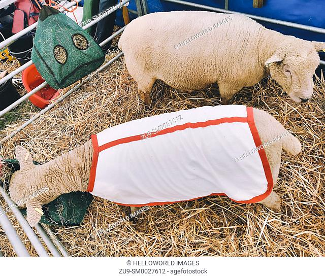 High angle view of 2 sheep in pen, one wearing a red and white jacket, Three Counties, Show 2019, Malvern, Worcestershire, England