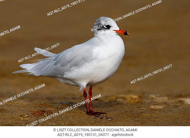 Adult Mediterranean Gull on the beach, Mediterranean Gull, Ichthyaetus melanocephalus