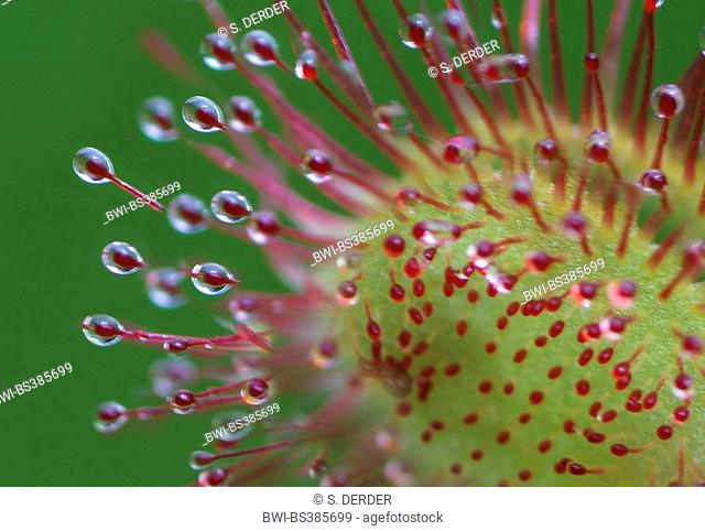 round-leaved sundew, roundleaf sundew (Drosera rotundifolia), trap leaf with glands, Germany, Bavaria, Oberbayern, Upper Bavaria