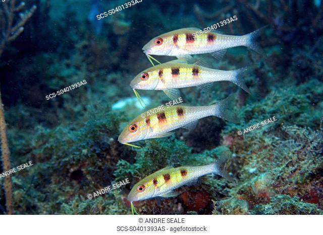 Four spotted goatfish, Pseudupeneus maculatus, juvenile, Ilha Escalvada, Guarapari, Espírito Santo, Brazil