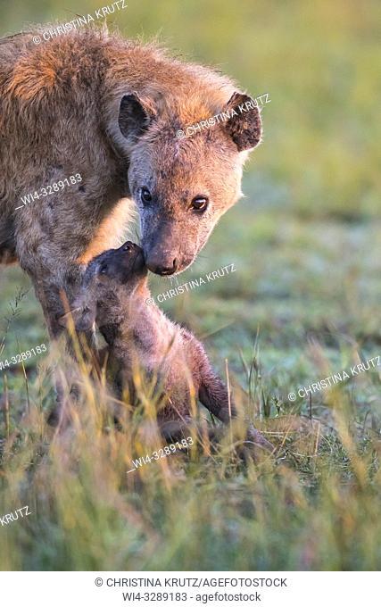 Spotted hyena (Crocuta crocuta) mother with cub, Maasai Mara National Reserve, Kenya, Africa