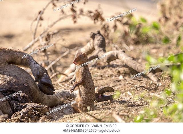 Sri Lanka, Yala national patk, Carrion of a joung wild water buffalo or Asian buffalo (Bubalus arnee) eaten by a Ruddy mongoose (Herpestes smithii)