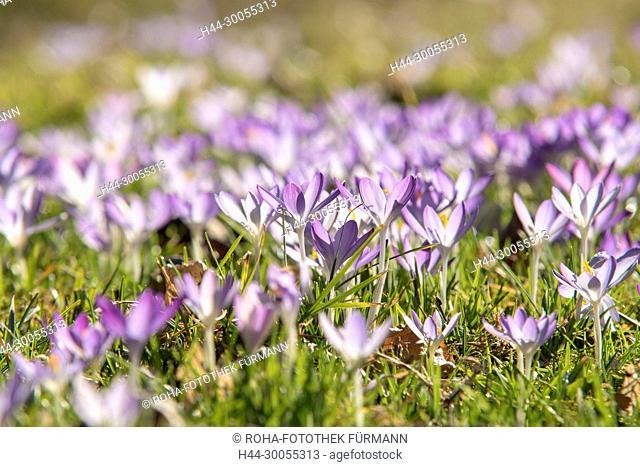 Bild, Foto, RoHa-Fotothe, Bayern, Berchtesgadener Land, Rupertiwinkel, Natur, Blume, Krokus, blauer Krokus, Lila Krokus, Crocus, Frühling, Fruehling, Frühjahr