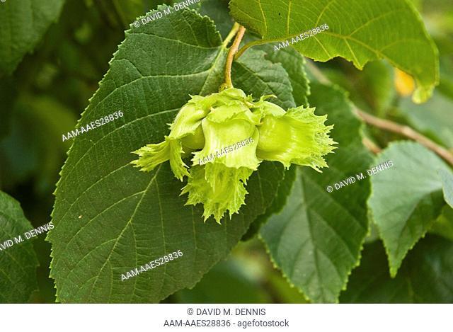 Fruits of American Hazlenut (Corylus americana) Sugarlands, Park Headquarters, Great Smokey Mt. National Park, TN