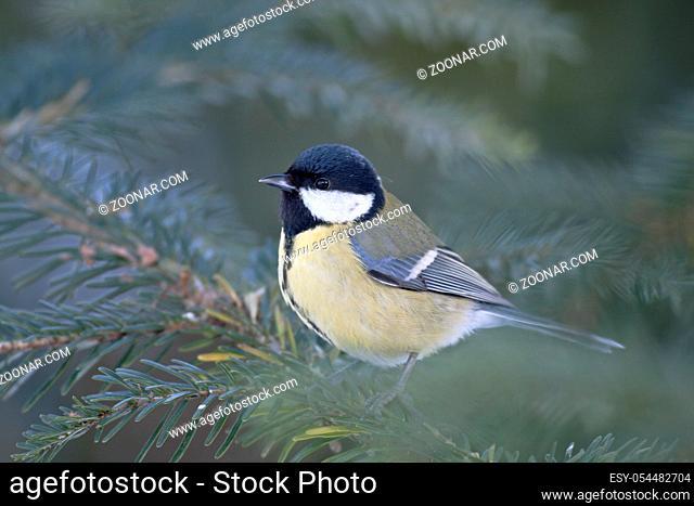 Kohlmeisen sind Standvoegel, die den Winter in ihrer Heimat verbringen - (Foto Altvogel) / Great Tit is an all-year resident bird - (Photo adult bird) / Parus...
