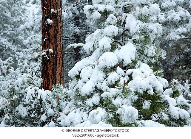 Ponderosa pine (Pinus ponderosa) with snow, Fremont National Forest, Oregon