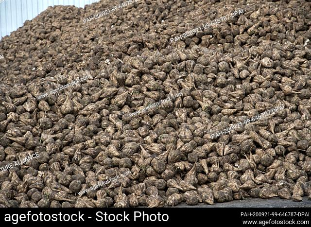 08 September 2020, Mecklenburg-Western Pomerania, Anklam: Sugar beets are lying in the storage area of the Anklam sugar factory