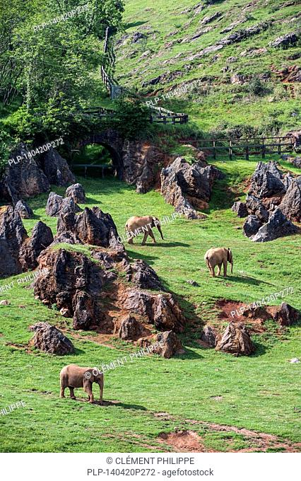 Enclosure with herd of African elephants (Loxodonta africana) at the Cabarceno Natural Park, Penagos, Cantabria, Spain