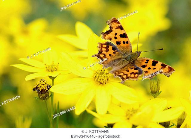 comma (Polygonia c-album, Comma c-album, Nymphalis c-album), sitting on on tickseed, view from above, Germany