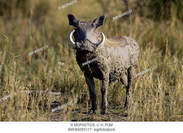 common warthog, savanna warthog (Phacochoerus africanus), male comming to a waterhole, Namibia, Etosha National Park