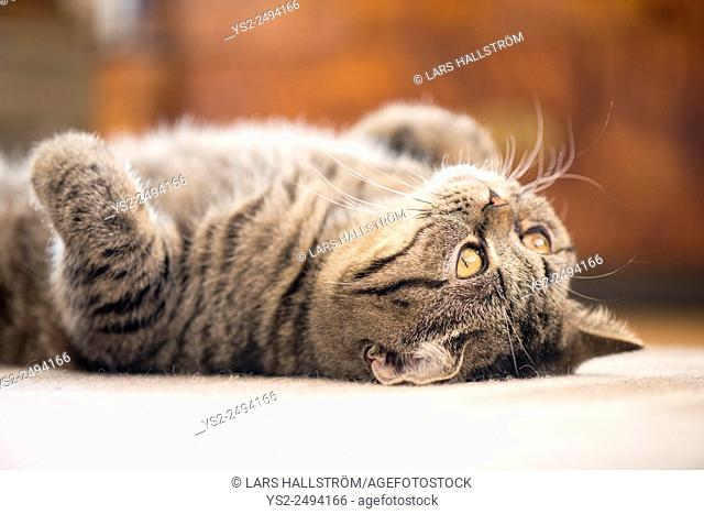 British shorthair cat lying down on rug looking up