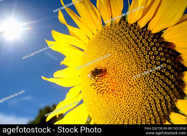 30 July 2020, Saxony-Anhalt, Schleibnitz: A bumblebee is sitting on a blooming sunflower. Above it shines the sun from a cloudless sky