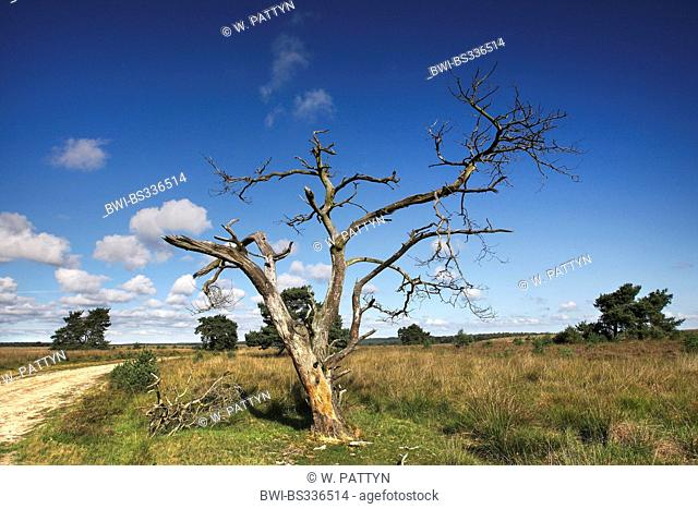 dead tree in heathland, Netherlands, Rhederheide, Veluwezoom National Park