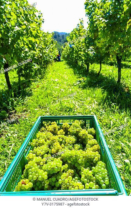 Harvesting wine grapes, Bodega Gorrondona, Bakio, Biscay, Basque Country, Spain