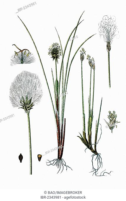 Left, Alpine Bulrush (Eriophorum alpinum), right, Hare's-tail Cottongrass, Tussock Cottongrass or Sheathed Cottonsedge (Eriophorum vaginatum), medicinal plants