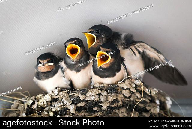 19 August 2021, Schleswig-Holstein, Geesthacht: Young barn swallows (Hirundo rustica) sit in their nest in a garden restaurant near Geesthacht and cry for food