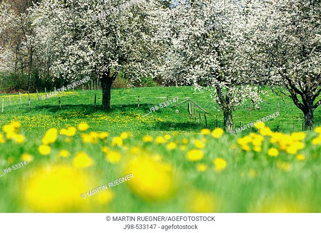Cherry trees in meadow. Lake Constance region, Baden-Württemberg (Baden-Wuerttemberg), Germany, Europe.  Cherry trees in meadow