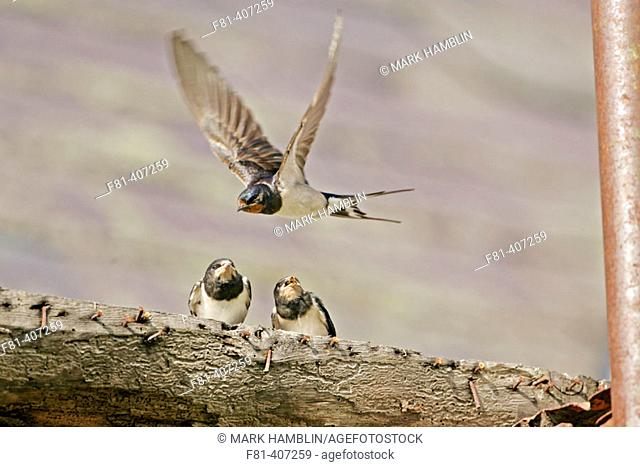 Swallow (Hirundo rustica) adult in flight with chicks perched nearby, Scotland, UK