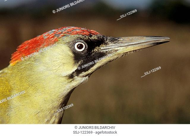 green woodpecker - portrait / Picus viridis