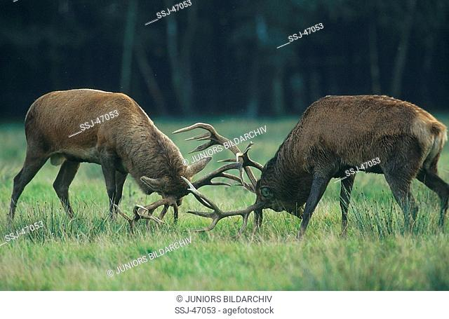 cervus elaphus / red deer , elk