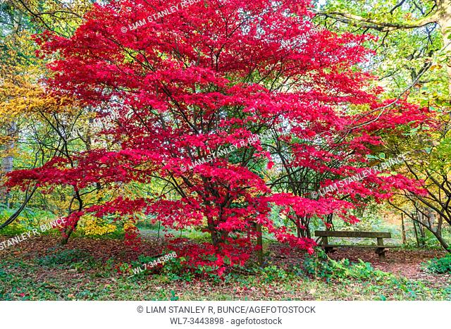 Japanese Maple (Acer palmatum) Dinmore Herefordshire UK. October 2019