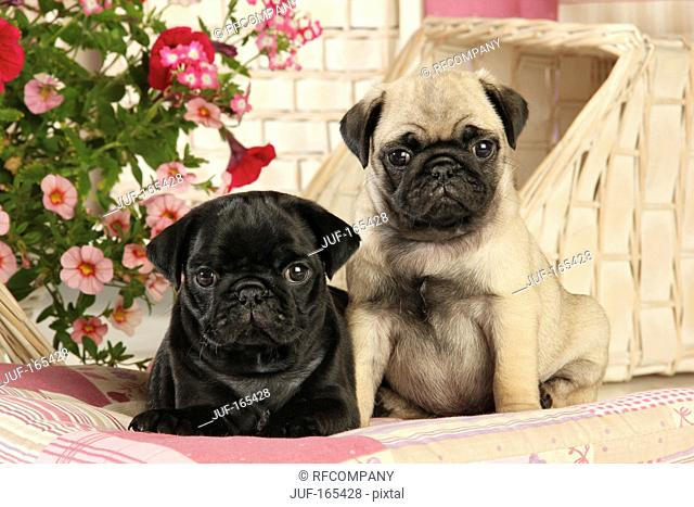 Pug - two puppies