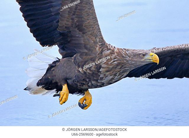 White Tailed Eagle, Andöya, Norway