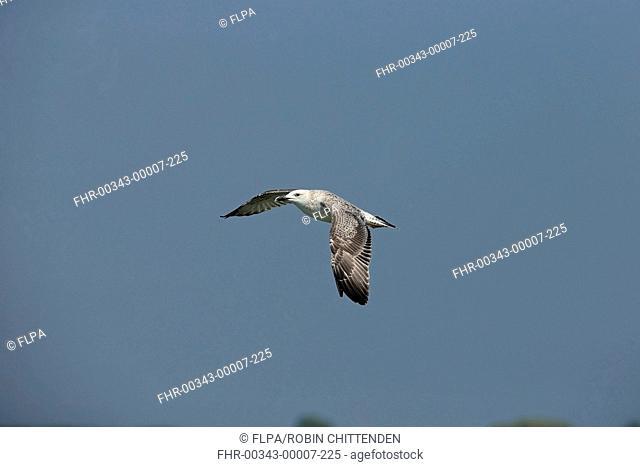 Caspian Gull (Larus cachinnans) juvenile, in flight, Tulcea, River Danube, Danube Delta, Dobrogea, Romania, September