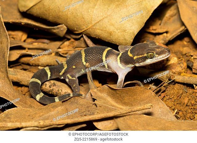 Banded ground gecko, Geckoella deccanensis, Common, Matheran, Raighad district, Maharashtra
