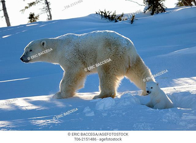 Polar bear (Ursus maritimus) female coming out the den with one three month cub in march. Wapusk National Park, Churchill, Manitoba, Canada