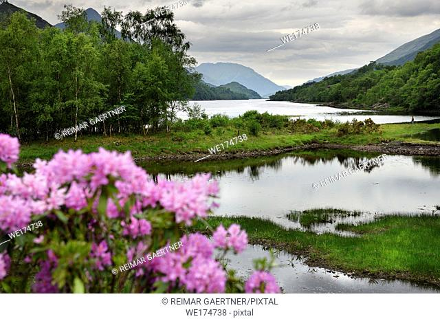 Rhododendron flowers and visitor on River Leven at the Head of Loch Leven in Kinlochleven with Pap of Glencoe sugarcone and Mamores Scotland UK