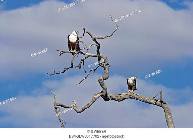 African fish eagle Haliaeetus vocifer, two animals sitting on branch, Botswana