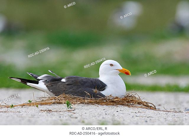 Lesser Black-backed Gull Helgoland Schleswig-Holstein Germany Larus fuscus nest