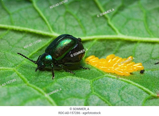 Green Leaf Beetle with eggs Germany Chrysomela cerealis