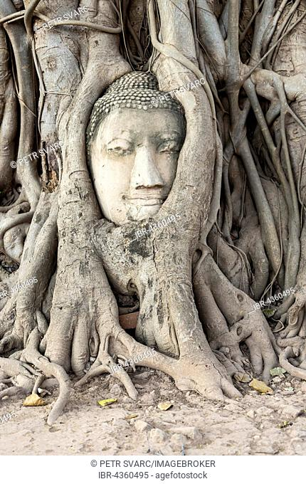 Buddha head statue in bodhi tree (Ficus religiosa) roots, Wat Mahathat, Buddhistic temple complex, Ayutthaya, Thailand