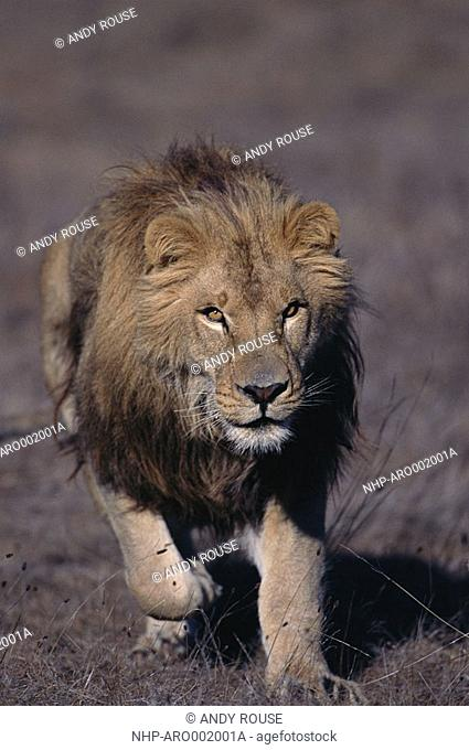 AFRICAN LION Panthera leo male looking for prey