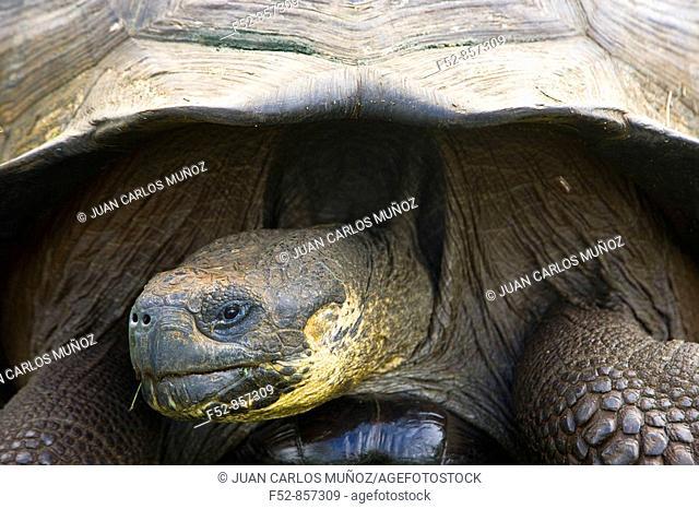 Giant Tortoise. Galapagos Islands, Ecuador