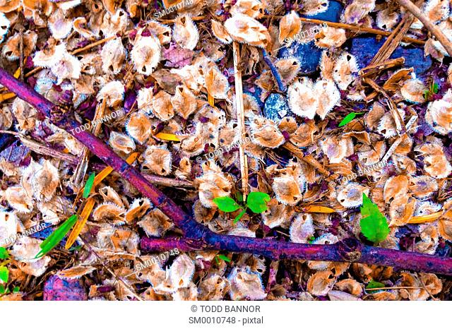 American elm seeds on ground