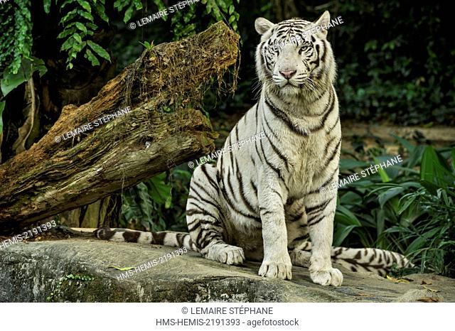 Singapore, Singapore Zoological Gardens, Mandai Zoo, White Tiger (Panthera tigris tigris)