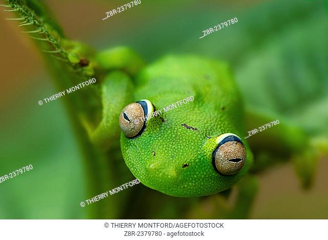 Hypsiboas cinerascens. Tree frog. French Guiana