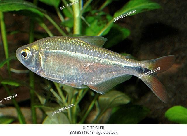 Silvery tetra, Banded Astyanax (Astyanax fasciatus), swimming